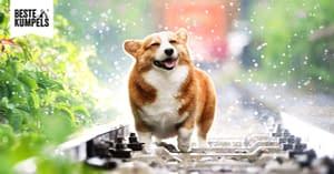 Corgi Hund