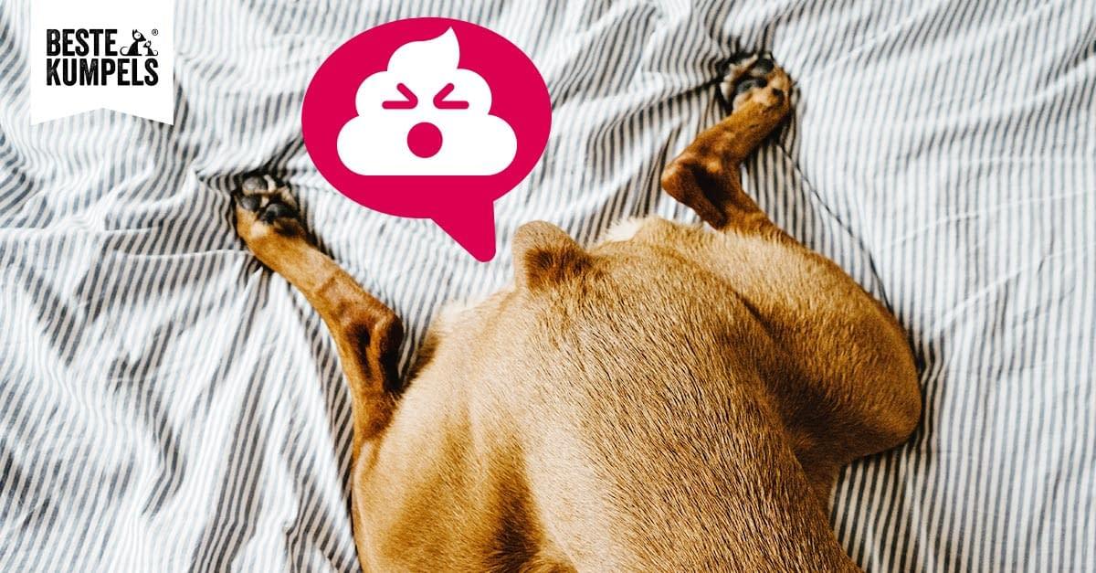 Analdrüsenentzündung beim Hund