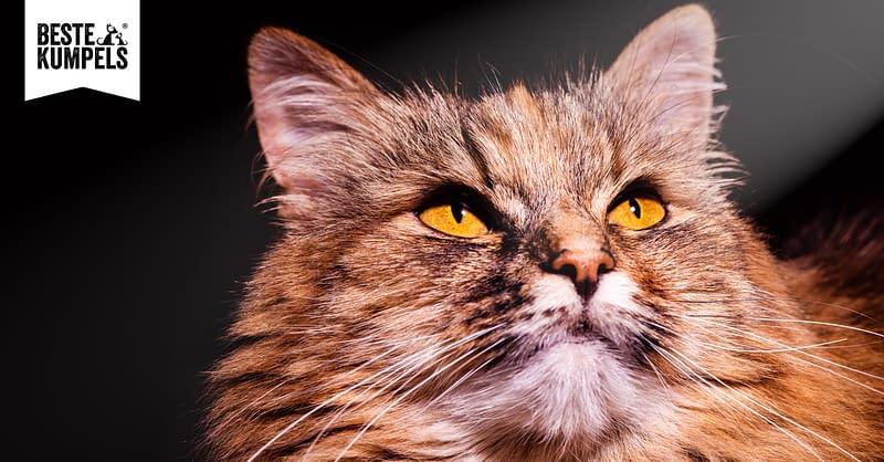 Rasseportrait: Die Norwegische Waldkatze