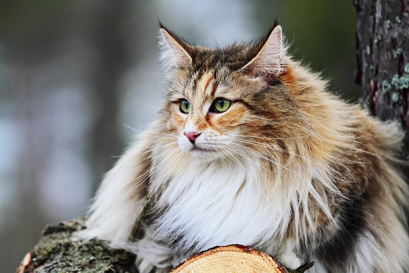 Norwegische Waldkatze im Wald